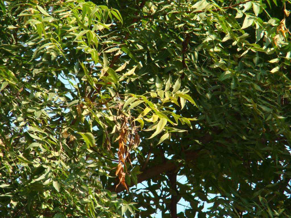 Azadirachta indica_leaves