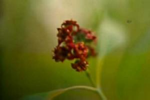Santalum album-Flower