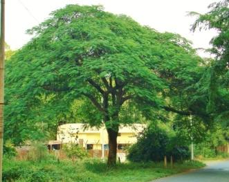 Delonix regia_Tree