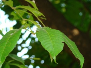 Dysoxylum binectariferum_Leaves