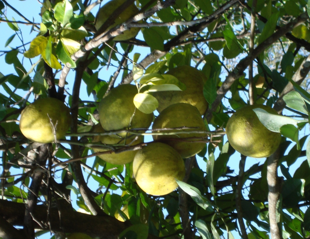 Citrus grandis_Fruits