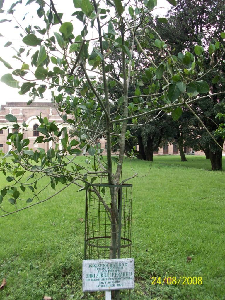Ficus krishnan
