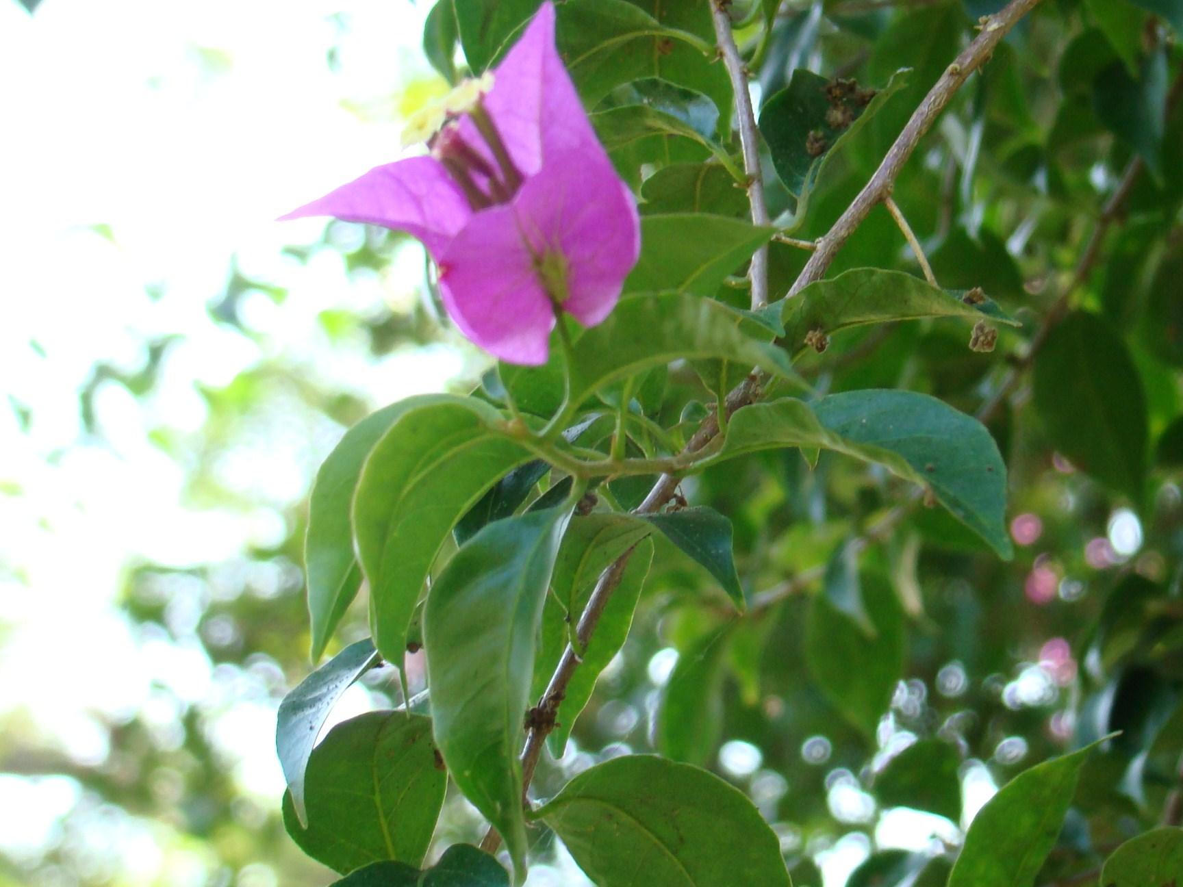 Mallotus philippensis-Flower
