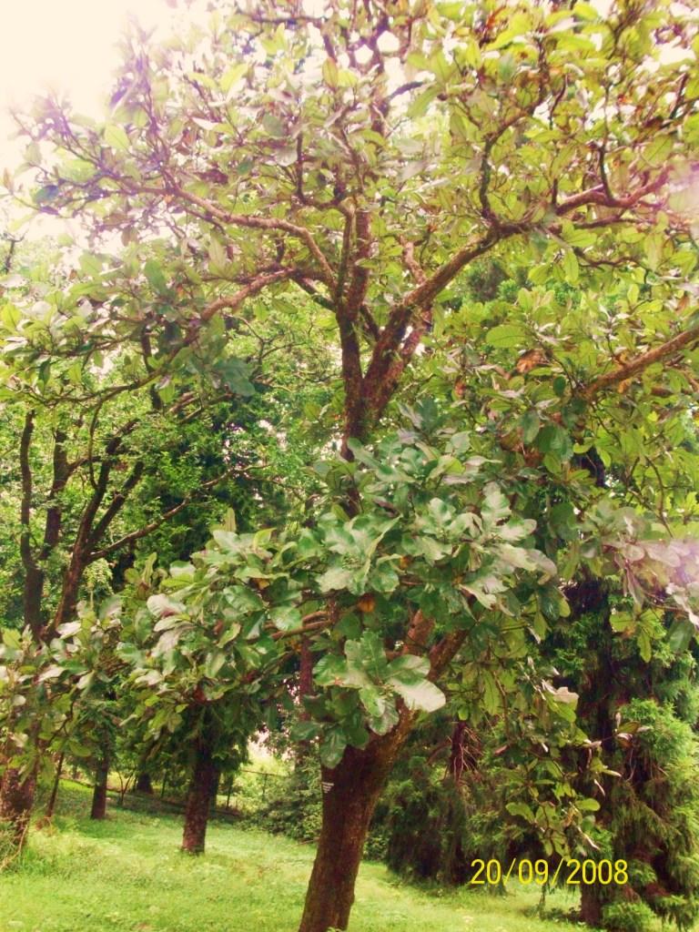 Semecarpus anacardium_Tree