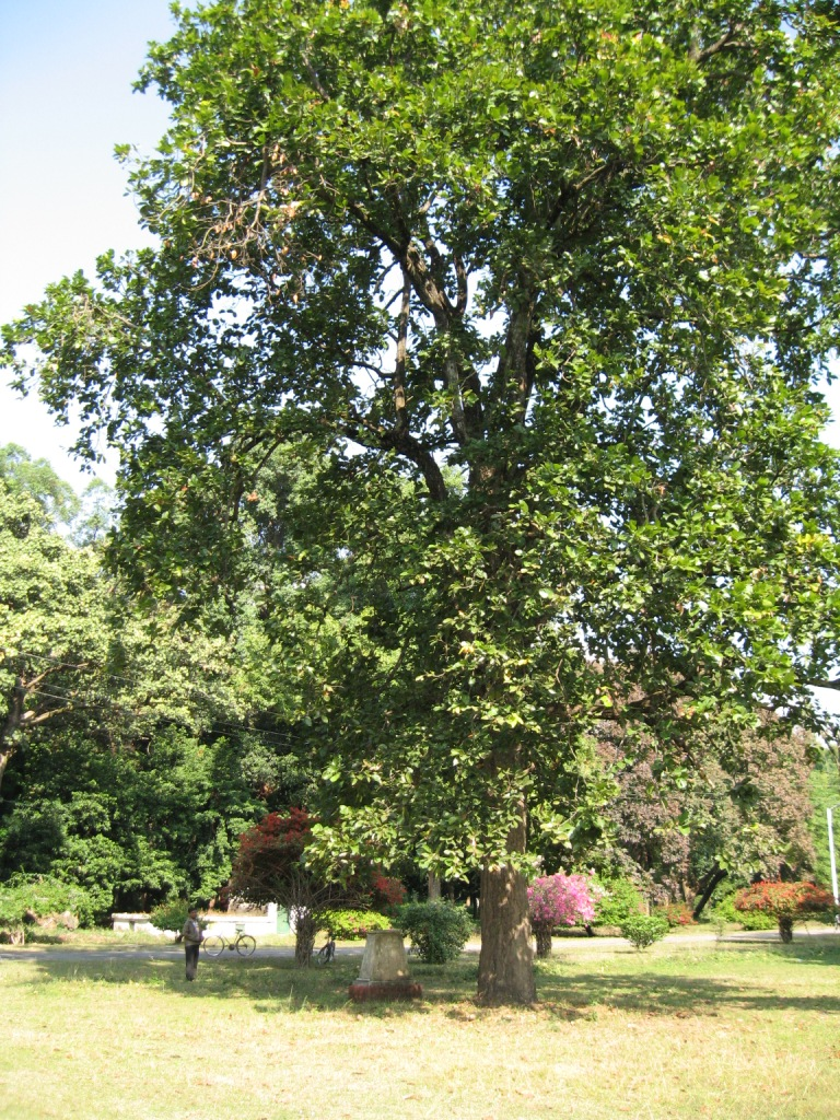 Shorea robusta-Full grown tree